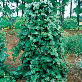 Red Stem Malabar Spinach Seeds Image