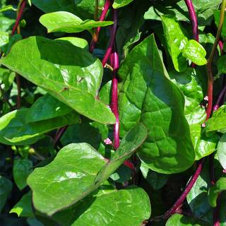 Red Stem Malabar Spinach Seeds