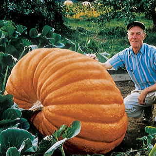Dills Atlantic Giant Pumpkin Seeds