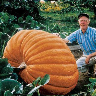 Dill's Atlantic Giant Pumpkin Seeds (P)Pkt of 10 seeds Image