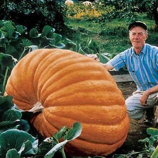 Dills Atlantic Giant Pumpkin Seeds