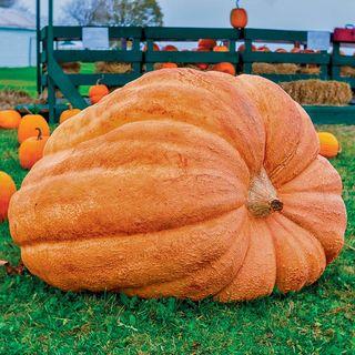 Dill's Atlantic Giant Pumpkin Seeds Image