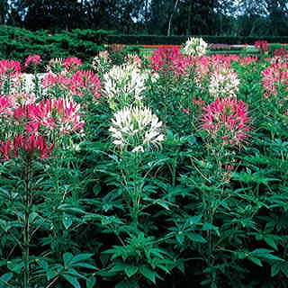 Queen Mix Spider Flower Seeds