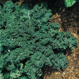 Winterbor Hybrid Kale Seeds