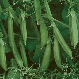 Sugar Lace II Pea Seeds