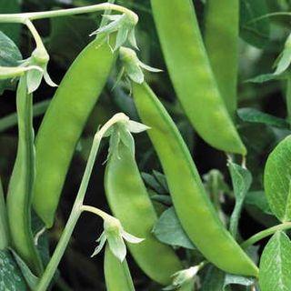 Norli Snow Pea Seeds