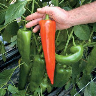 Atris Hybrid Pepper Seeds
