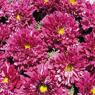 Double Click Cranberries Cosmos Flower Seeds