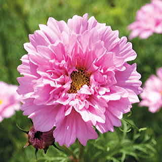 Double Click Rose Bonbon Cosmos Flower Seeds
