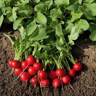Rudolf Organic Radish Seeds