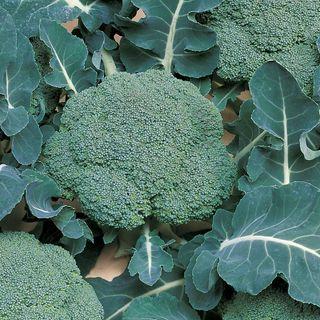 Belstar Hybrid Organic Broccoli Seeds Image