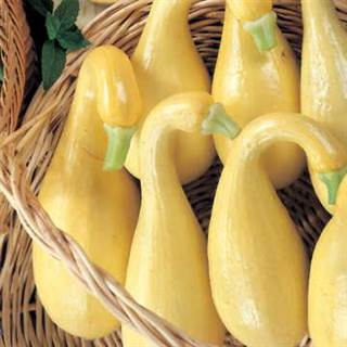 Early Summer Crookneck Organic Squash Seeds