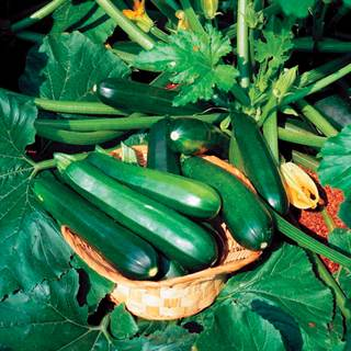 Black Beauty Organic Squash