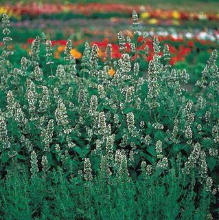 Organic Catnip Seeds