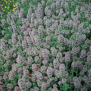 Organic English Thyme Seeds