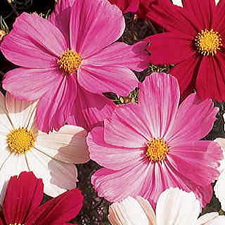 Gazebo Pink Cosmos Flower Seeds