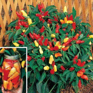 Sweet Pickle Organic Pepper Seeds