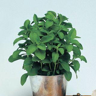 Sugarleaf Organic Stevia Seeds Image