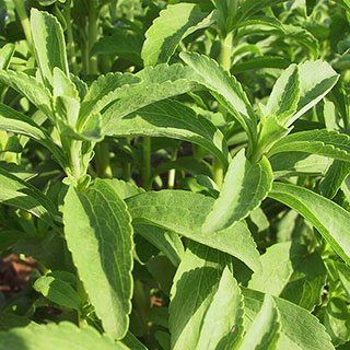 Know Before You Grow: Stevia