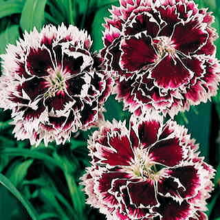Velvet n Lace Dianthus chinesis China Pink Flower Seeds