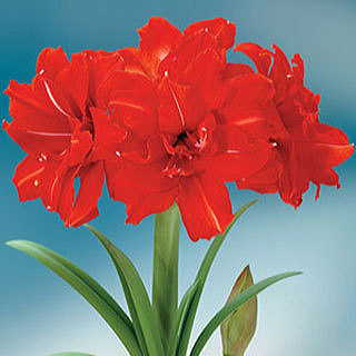 Amaryllis Red Peacock