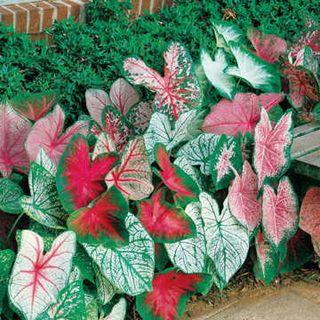 Caladium Mixed Fancy Leaf