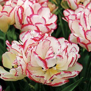 Tulip Belicia