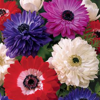 St. Brigid Double Mix Windflower - Pack of 10