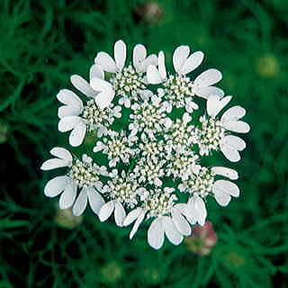 White Lace Flower Seeds