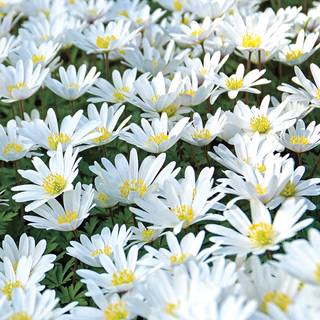 White Splendor Windflower - Pack of 20