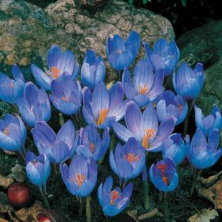 Fall-Blooming Crocus - Pack of 20