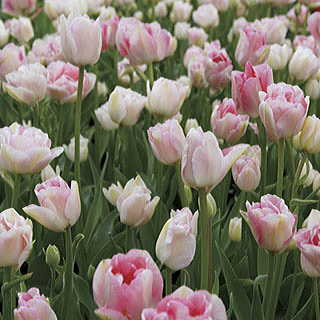 Angelique Tulip - Pack of 10