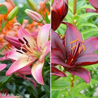 Asiatic Lily Mix - Pack of 4