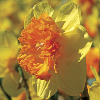 Wild Carnival Daffodil - Pack of 10