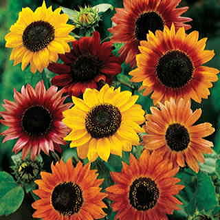 Large Flowered Mix Sunflower Seeds