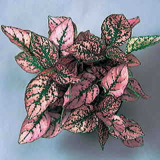Splash Select Pink Polka Dot Seeds
