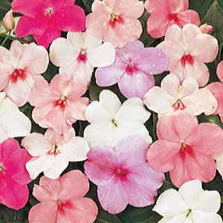 Shady Lady Pastel Mix Hybrid Impatiens Seeds