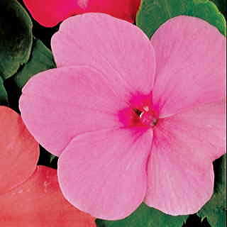 Accent Pink Hybrid Impatiens Flower Seeds