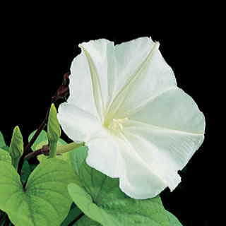 Moon Vine Moonflower Seeds