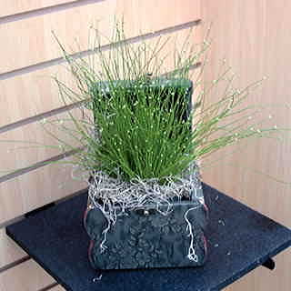 Live Wire Fiber Optic Grass Seeds