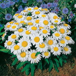 Snow Lady Shasta Daisy Seeds