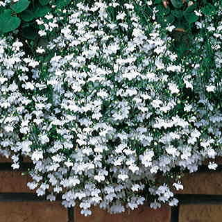 Fountain White Lobelia Flower Seeds