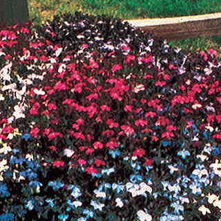 Fountain Crimson Lobelia Flower Seeds