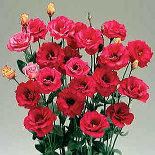 Arena Red Lisianthus Flower Seeds