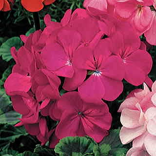 Orbit Violet Geranium Seeds