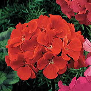Orbit Scarlet Geranium Seeds