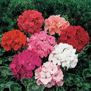 Orbit Mix Geranium Seeds
