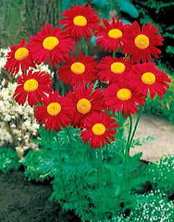 James Kelway Pyrethrum Daisy Seeds