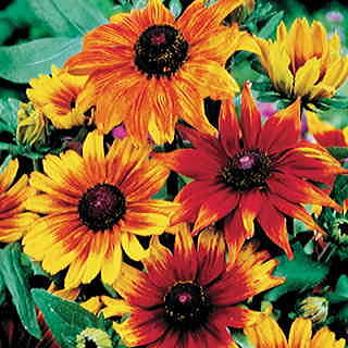 Autumn Colors Gloriosa Daisy Seeds