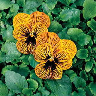 Angel Tiger Eye Hybrid Viola Seeds